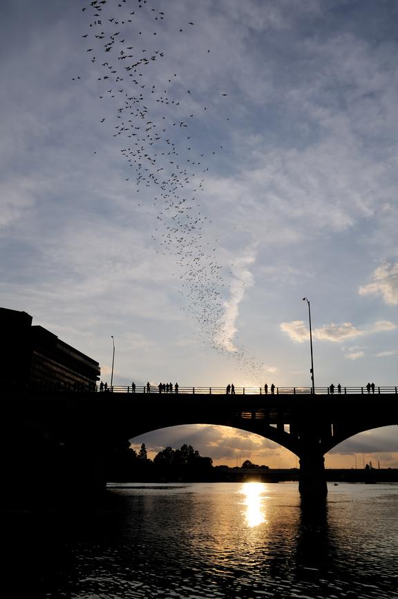Bat Migration Near Congress Avenue Bridge in Austin, TX